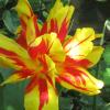 CTV-tulip