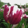 Where-Tulip